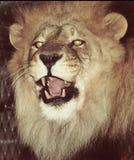 Leão rujir imagens de stock