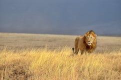 Leão só Imagens de Stock Royalty Free