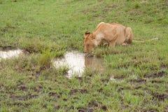 Leão sedento Imagens de Stock Royalty Free