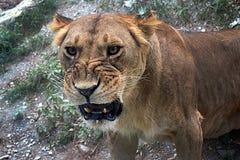 Leão selvagem do gato fotografia de stock