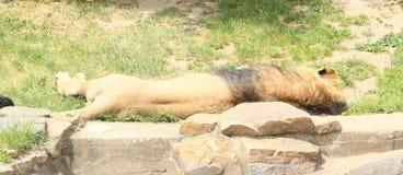 Leão sonolento Imagem de Stock