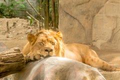 Leão sonolento Imagens de Stock Royalty Free