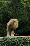 Leão superior foto de stock royalty free