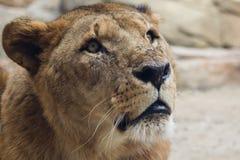 Leão surpreendido Imagem de Stock Royalty Free