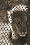 Leão temperamental imagem de stock royalty free
