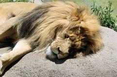 Leão Tired Foto de Stock