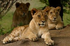 Leão três Fotografia de Stock Royalty Free