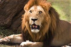 Leão velho no Masai Mara fotos de stock royalty free