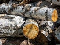 Leña del abedul en el bosque Fotografía de archivo
