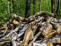Leña del abedul en el bosque Foto de archivo libre de regalías