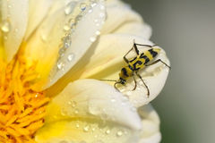 Leñadores de las familias del escarabajo encendido Foto de archivo libre de regalías