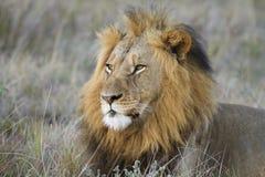 León Imagen de archivo libre de regalías