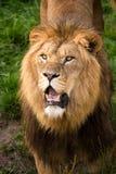 León Foto de archivo libre de regalías