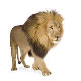 León (4 y una mitad de los años) - Panthera leo imagen de archivo