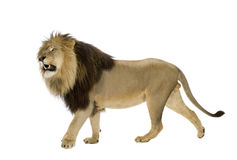 León (4 y una mitad de los años) - Panthera leo Foto de archivo