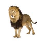 León (4 y una mitad de los años) - Panthera leo Foto de archivo libre de regalías