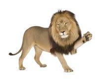 León (4 y una mitad de los años) - Panthera leo fotografía de archivo libre de regalías
