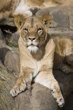 León Imagenes de archivo