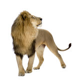 León (8 años) - Panthera leo Imagenes de archivo