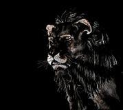 León abstracto en el fondo negro fotografía de archivo