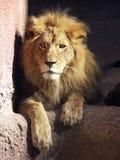 León africano Foto de archivo libre de regalías