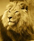 León africano Imágenes de archivo libres de regalías