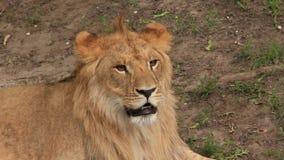 León africano almacen de metraje de vídeo