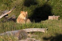 León africano Fotos de archivo