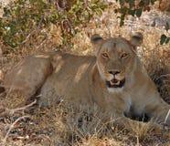 León africano de la fauna Foto de archivo libre de regalías