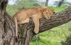 León africano en árbol fotos de archivo libres de regalías