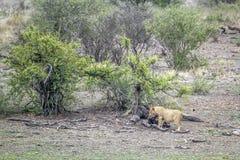León africano en el parque nacional de Kruger, Suráfrica Imágenes de archivo libres de regalías