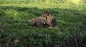 León africano en el parque zoológico; Familia de leo del Panthera de la especie Imagen de archivo