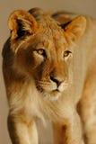 León africano joven fotografía de archivo libre de regalías