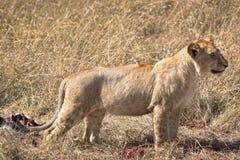 León africano joven Fotos de archivo libres de regalías
