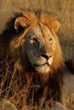 León africano masculino grande Fotografía de archivo