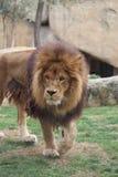 León africano - Panthera leo Foto de archivo libre de regalías