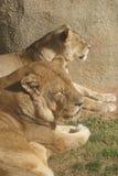 León africano - Panthera leo Imágenes de archivo libres de regalías