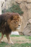 León africano - Panthera leo Fotos de archivo libres de regalías