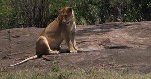 León africano, panthera leo, agua potable de la madre en las rocas, Masai Mara Park en Kenia almacen de metraje de vídeo