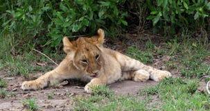León africano, panthera leo, Cub lamiéndose la pata, Masai Mara Park en Kenia, almacen de metraje de vídeo