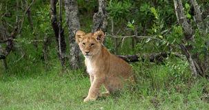 León africano, panthera leo, Cub, Masai Mara Park en Kenia, almacen de metraje de vídeo