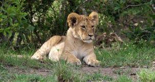 León africano, panthera leo, Cub que descansa, Masai Mara Park en Kenia, almacen de metraje de vídeo