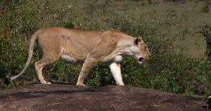 León africano, panthera leo, el caminar femenino en la roca, Masai Mara Park en Kenia, metrajes
