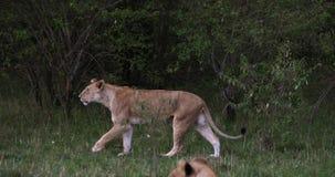 León africano, panthera leo, el caminar femenino, Masai Mara Park en Kenia, almacen de video