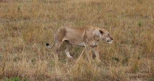 León africano, panthera leo, el caminar femenino y el estirar, Masai Mara Park en Kenia, almacen de video