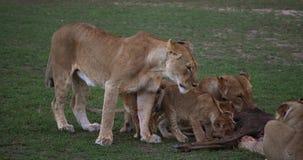León africano, panthera leo, grupo con una matanza, un Wildebest, Masai Mara Park en Kenia, almacen de metraje de vídeo