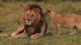 León africano, panthera leo, grupo que se coloca cerca de Bush, Cub que juega con el varón, parque de Samburu en Kenia, metrajes