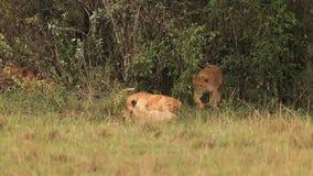 León africano, panthera leo, grupo que se coloca cerca de Bush, Cub que juega, parque de Samburu en Kenia, almacen de video