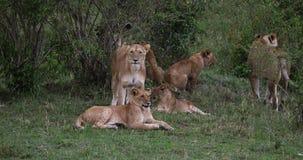 León africano, panthera leo, grupo que se coloca en el arbusto, Masai Mara Park en Kenia, almacen de metraje de vídeo