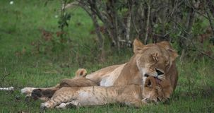 León africano, panthera leo, madre que lame su Cub, Masai Mara Park en Kenia, almacen de video